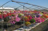 Floricoltura, confronti varietali a Rosolina CALIBRACHOA, TEST DI COLTIVAZIONE IN SERRA E IN FIORIERA  Fino a Settembre