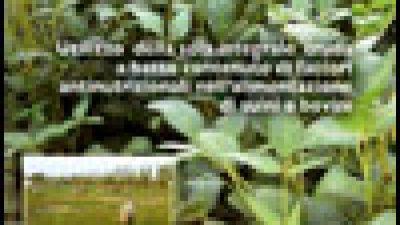 Utilizzo della soia integrale cruda a basso contenuto di fattori antinutrizionali nell'alimentazione di suini e bovini