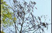 Il cancro rameale del noce: una nuova emergenza fitosanitaria per l'Europa