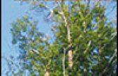 Il mal dell'inchiostro del castagno: una nuova emergenza fitosanitaria per il Veneto