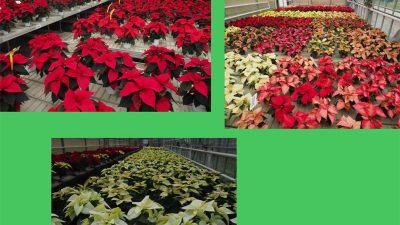 Schede varietali Poinsettia 2018 – Centro Po di Tramontana