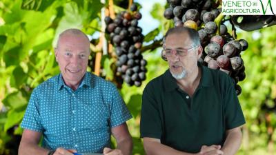 61 Radio Veneto Agricoltura – Previsioni vendemmiali 2019, il team regionale scalda i motori