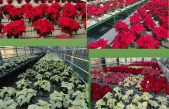 Schede varietali Poinsettia 2019 – Centro Po di Tramontana