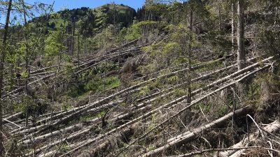 TAIBON AGORDINO-BL: LA FORESTA DI MALGONERA LABORATORIO A CIELO APERTO POST-VAIA
