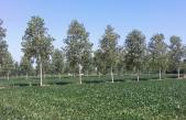 AGRICOLTURA E PIOPPICOLTURA: UN MATRIMONIO CHE S'HA DA FARE