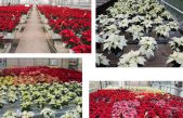 Schede varietali Poinsettia 2020 – Centro Po di Tramontana